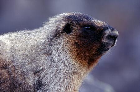 hoary: Hoary Marmot portrait