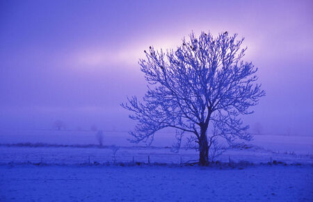 Lonly tree at dawning in wintertime photo