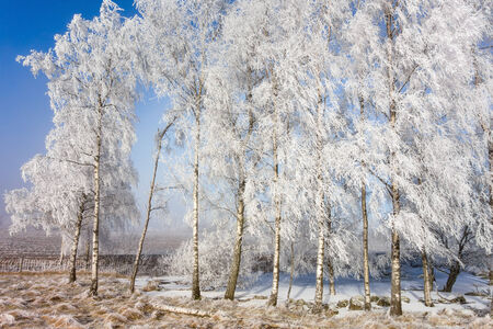 Hoarfrost covered birch trees in a grove photo