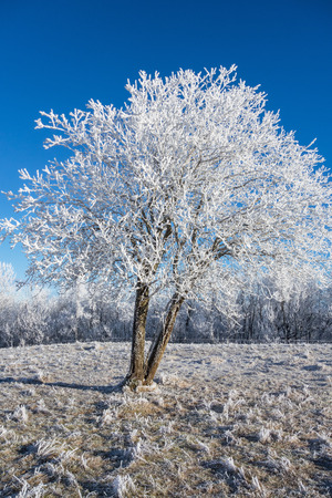 흰 서리: Hoarfrost covered tree in winter
