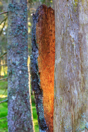 sunspot: Sunspot on the bark that has cracked from the tree trunk