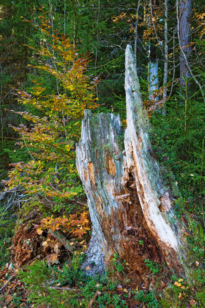 dead trees: Old tree stump in the forest Stock Photo