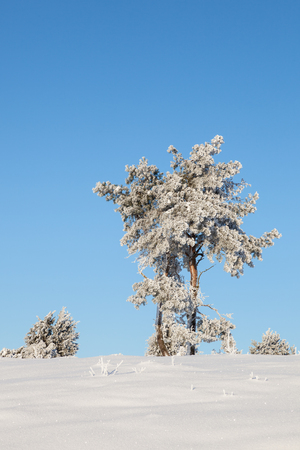 hoarfrost: Pine tree with hoarfrost on a hill Stock Photo