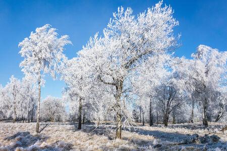 hoarfrost: Hoarfrost covered tree in winter