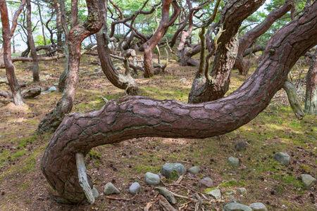 trunk  tree: Antiguo nudoso tronco de �rbol de pino