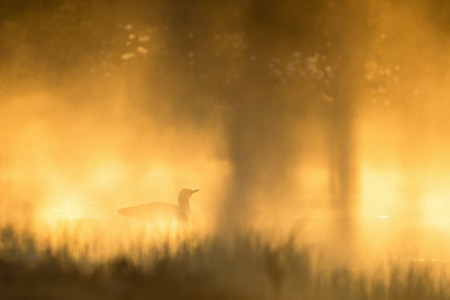 Red throated Loon in in morning mist photo