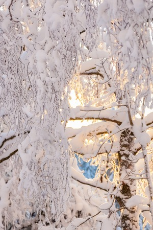 Birch tree branches in winter with snow photo