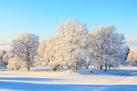 Oak tree in snowy winter landscape photo