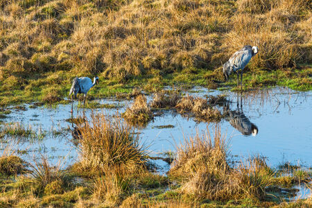 Cranes at a small pond photo