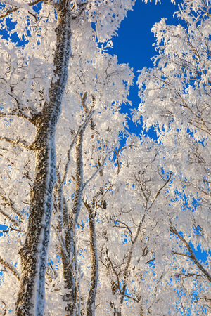 treetops: Frosty treetops against blue sky