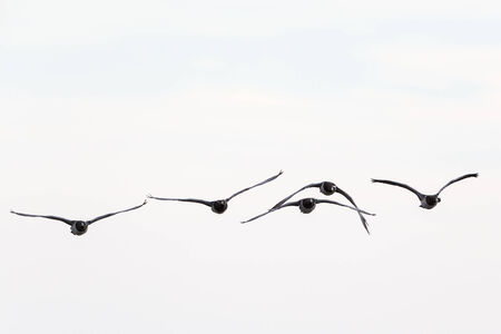 Barnacle goose flying in the sky photo