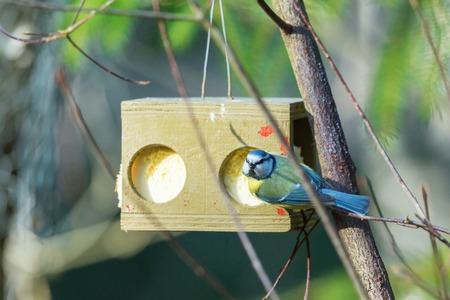 bird feeder: Blue tit at a bird feeder
