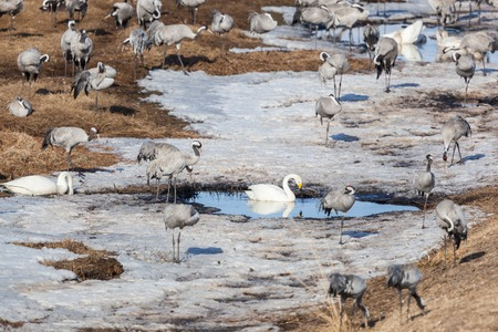 Cranes and whooper swans resting in the snow photo