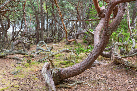 treetrunk: Old gnarly pine tree in a old woods