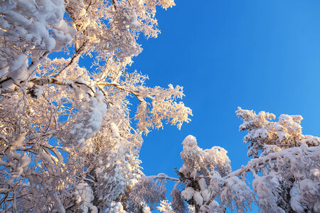 흰 서리: Treetops with hoarfrost against the blue sky 스톡 사진