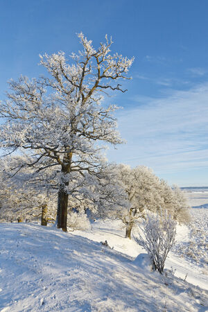 Oak tree with frost in winter landscape photo
