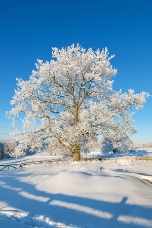 Oak tree in winter landscape photo