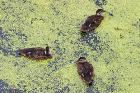 Young Mallard ducks swim in Duckweed photo