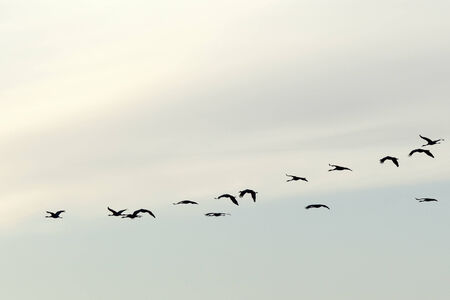 A flock of cranes in the sky photo