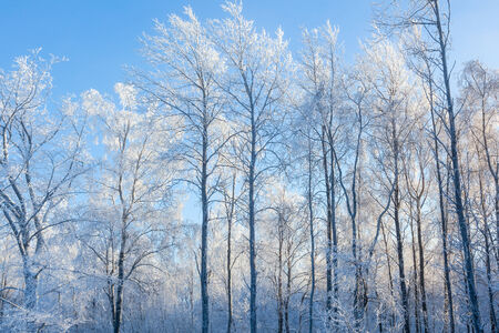 흰 서리: Winter forest with hoarfrost covered trees