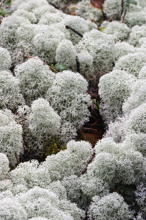 mosses: Reindeer moss is growing on the ground
