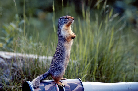 Columbian ground squirrel stand up on the lens. Stock Photo