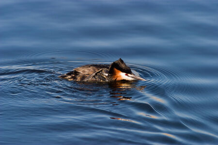 preens: Horned grebe swimming in the lake