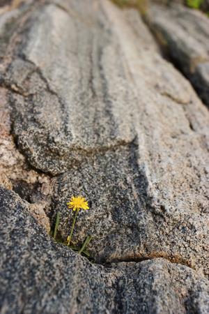 fleurs des champs: Fleurs sauvages dans une crevasse de roche Banque d'images