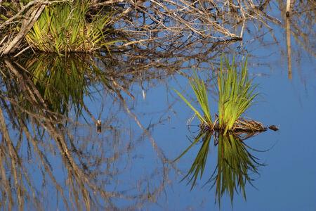 plantas acuaticas: Plantas de agua en el estanque Foto de archivo