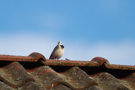 white wagtail: White wagtail on the rooftop Stock Photo