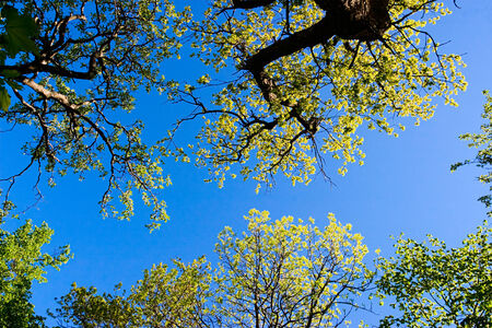 treetops: Treetops in the forest from below Stock Photo
