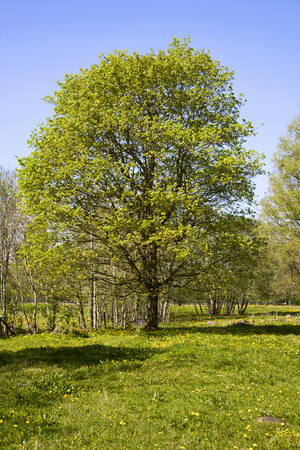 hardwoods: Beautiful tree in spring