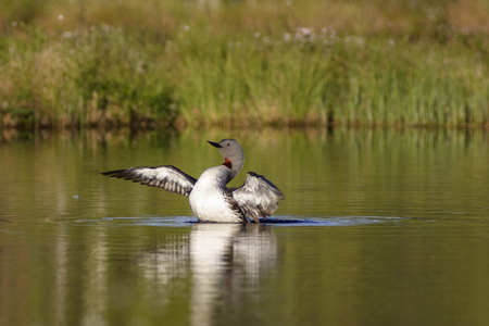 Red throated Loon spread its wings photo