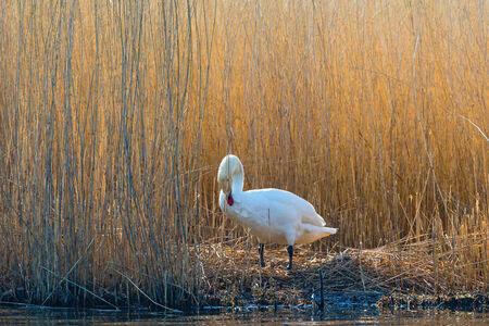 birdnest: Mute swan preening itself on its nest Stock Photo