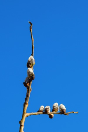 great sallow: Flowering Pussy willow in spring