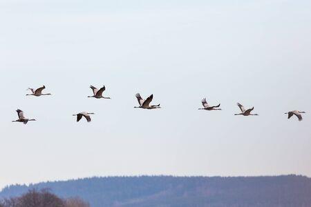 pajaros: Multitud de formaci�n gr�as volando en el skie