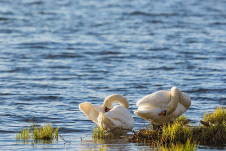 preens: Mute swan couple preening themselves at the waters edge at summer