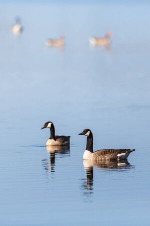 canada goose: Canada Goose pair swimming in the lake Stock Photo