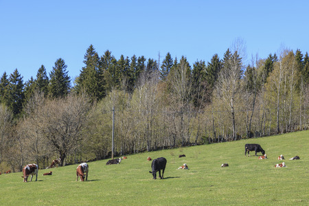 non cultivated land: Cows with calves in the pasture Stock Photo