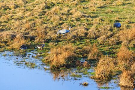 Cranes and Goose at water edge on a meadow photo