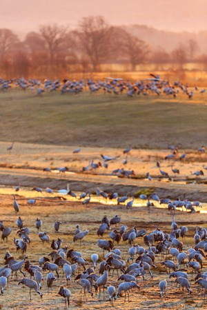 Flock of cranes on the field in the dawn light photo
