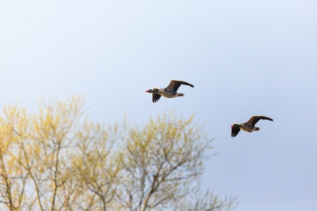 greylag: Greylag geese flying over the trees Stock Photo