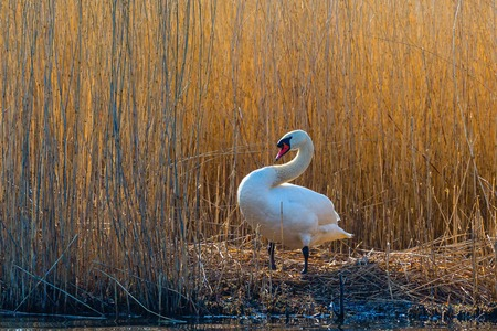 birdnest: Mute swan at its nest at the lake in the reeds Stock Photo