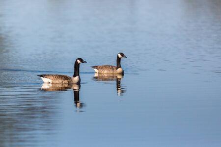 Canada Goose pair swim in the lake photo