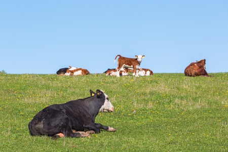 Cow and calves resting on thesummer meadow photo