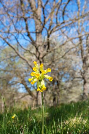cowslip: Blooming Cowslip with trees in spring Stock Photo