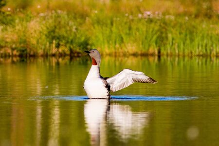 preens: Red throated loon with spread wings Stock Photo