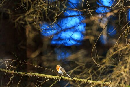 non urban 1: Robin sings from a tree branch