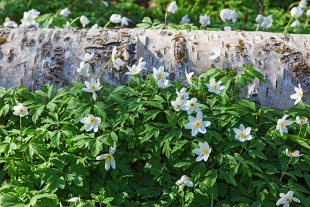 birch tree: Wood anemones with a birch tree log