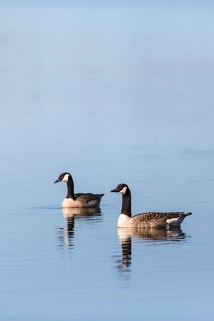 canada goose: Canada Goose pair swimming in the lake at spring